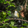 White-eyed Vireo VA 1 May 2018-1639