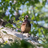 Wood Duck in Tree VA 3 May 2018-2505
