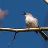 Blue-gray Gnatcatcher Apr 2018-1628