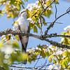 Yellow-Billed Cuckoo VA 1 May 2018-1713
