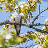 Yellow-Billed Cuckoo VA 1 May 2018-1710