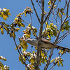 Yellow-Billed Cuckoo VA 1 May 2018-1698