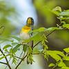 Virginia Birds May 2018-2330