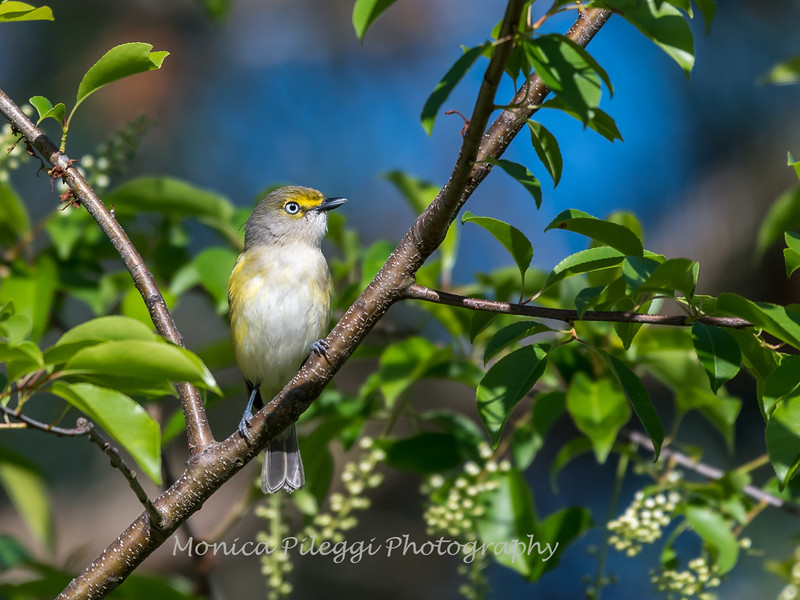 White-eyed Vireo VA 1 May 2018-1642