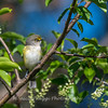 White-eyed Vireo VA 1 May 2018-1644