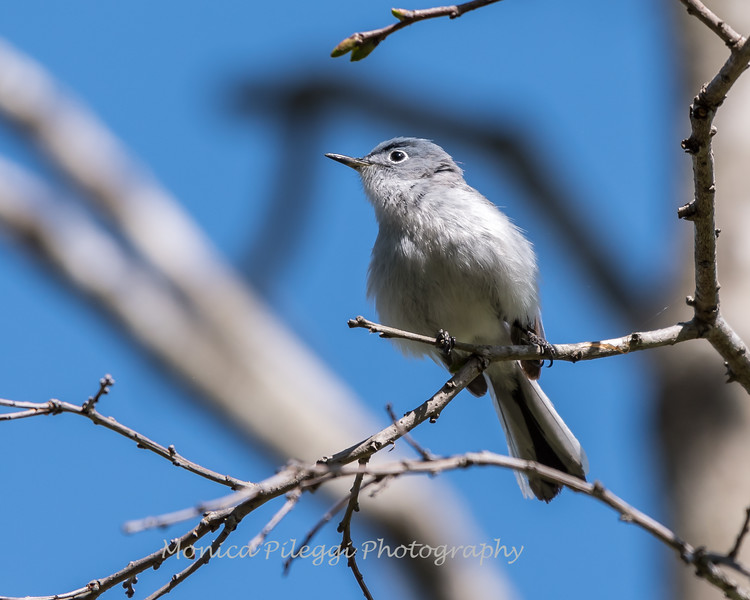 Blue-gray Gnatcatcher Apr 2018-0189
