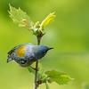 Virginia Birds May 2018-2364