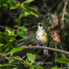 White-eyed Vireo VA 1 May 2018-1641
