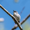 Blue-gray Gnatcatcher Apr 2018-0180