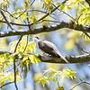 Yellow-Billed Cuckoo VA 1 May 2018-1721