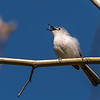 Blue-gray Gnatcatcher Apr 2018-1629