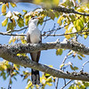 Yellow-Billed Cuckoo VA 1 May 2018-1701