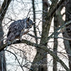 Great Horned Owl-6466
