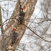 Pileated Woodpecker-6379