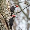 Pileated Woodpecker-6320