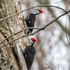 Pileated Woodpecker-6319