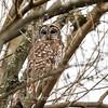 Barred Owl6229