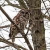 Barred Owl6241