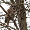Barred Owl6238