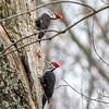 Pileated Woodpecker-6345