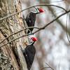 Pileated Woodpecker-6317