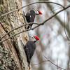 Pileated Woodpecker-6314