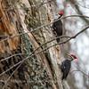 Pileated Woodpecker-6371