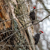 Pileated Woodpecker-6371
