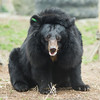 "A lucky glimpse of Xuan Xuan, who usually doesn't stray too far from the comfort of her den. She preferred to stay close to home, but as with all bears, she forgot her worries when there was fresh fruit to be eaten!<br /> <br /> All proceeds go to Animals Asia, who rescued this gorgeous moon bear.<br />  <a href=""http://www.animalsasia.org/"">http://www.animalsasia.org/</a>"