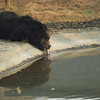 "Oliver takes a drink from his pool at the Animals Asia Bear Rescue Centre in Chengdu, China.<br /> <br /> All proceeds go to Animals Asia, who rescued this gorgeous moon bear.<br />  <a href=""http://www.animalsasia.org/"">http://www.animalsasia.org/</a>"