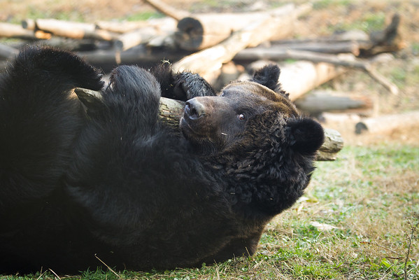 "Iris cuddles her favourite stick at the Animals Asia Bear Rescue Centre in Chengdu, China.<br /> <br /> All proceeds go to Animals Asia, who rescued this gorgeous moon bear.<br />  <a href=""http://www.animalsasia.org/"">http://www.animalsasia.org/</a>"