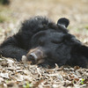 "This chap had dug out his own little nest in the ground, and was quite happy sleeping there, completely oblivious to everything going on around him.<br /> <br /> All proceeds go to Animals Asia, who rescued this gorgeous moon bear.<br /> <a href=""http://www.animalsasia.org"">http://www.animalsasia.org</a>"