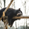 Holly here was rescued along with Wang Cai, a few months before the New Year Rescue . She seemed to want to climb as high as Wang Cai and prove she wasn't lazy... but, well... maybe later.  All proceeds go to Animals Asia, who rescued this gorgeous moon bear. http://www.animalsasia.org/