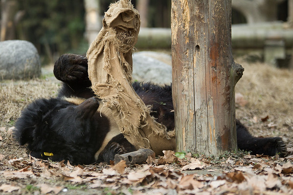 "The bears love their hessian sacks, which are used as playthings and bedding.<br /> <br /> All proceeds go to Animals Asia, who rescued this gorgeous moon bear.<br />  <a href=""http://www.animalsasia.org/"">http://www.animalsasia.org/</a>"
