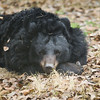 "Banjo relaxing and just being a bear at the Animals Asia Bear Rescue Centre in Chengdu, China.<br /> <br /> All proceeds go to Animals Asia, who rescued this gorgeous moon bear.<br /> <a href=""http://www.animalsasia.org/"">http://www.animalsasia.org/</a>"