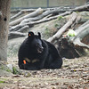 "While Mac was too busy focusing on her carrot, Katie wandered off. A few more chomps and she gambolled after Katie again comfortable in each other's company. At the Animals Asia Bear Rescue Centre in Chengdu, China.<br /> <br /> All proceeds go to Animals Asia, who rescued this gorgeous moon bear.<br />  <a href=""http://www.animalsasia.org/"">http://www.animalsasia.org/</a>"