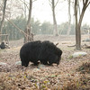 "For years, Manuka had been trapped in a cage not much larger than her body. now, when she's not swimming, she roams around her forest habitat looking for snacks at the Animals Asia Bear Rescue Centre. <br /> <br /> All proceeds go to Animals Asia, who rescued this gorgeous moon bear.<br />  <a href=""http://www.animalsasia.org/"">http://www.animalsasia.org/</a>"