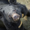 At the time of his rescue, Peter was unable to even stand up. Now he wanders around his habitat with Shamrock all day, wondering why all the humans are suddenly so much nicer to them.  All proceeds go to Animals Asia, who rescued this gorgeous moon bear. http://www.animalsasia.org/