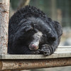 "Quantock is easily recognisable from the scars on his face, caused by rubbing his head against his cage bars for years before he was rescued. He's still gorgeous, and a favourite among staff at the Animals Asia Bear Rescue Centre in Chengdu, China.<br /> <br /> All proceeds go to Animals Asia, who rescued this gorgeous moon bear.<br />  <a href=""http://www.animalsasia.org/"">http://www.animalsasia.org/</a>"