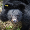 Shamrock's wounds have healed and the matted hair on her face has grown back. Beautiful Shamrock can now live in peace at the Animals Asia Bear Rescue Centre in Chengdu, China.  All proceeds go to Animals Asia, who rescued this gorgeous moon bear. http://www.animalsasia.org/