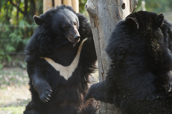 "Prince and Dayley play tag at the Animals Asia Bear Rescue Centre in Chengdu, China.<br /> <br /> All proceeds go to Animals Asia, who rescued this gorgeous moon bear.<br />  <a href=""http://www.animalsasia.org/"">http://www.animalsasia.org/</a>"