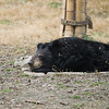"Happy bear dreams being had by all at the Animals Asia Bear Rescue Centre in Chengdu, China.<br /> <br /> All proceeds go to Animals Asia, who rescued this gorgeous moon bear.<br />  <a href=""http://www.animalsasia.org/"">http://www.animalsasia.org/</a>"