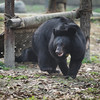 Katie lives alongside her fellow rescue Mac. Still a bit nervous, they like to stay together when they go foraging for food. They are gradually getting braver every day, thanks to Animals Asia.  All proceeds go to Animals Asia, who rescued this gorgeous moon bear. http://www.animalsasia.org/