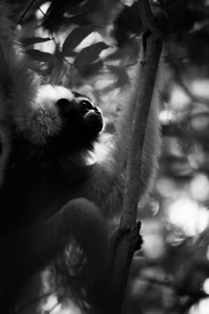 "This female Pileated Gibbon rests in the sun just for a moment, before continuing her swing around the trees in her habitat.<br /> <br /> All proceeds from prints go to the Angkor Centre for Conservation of Biodiversity, who rescued all of the animals featured here.<br /> <br /> <a href=""http://www.accb-cambodia.org"">http://www.accb-cambodia.org</a>"
