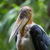 "There are a number of huge, dinosaur-like Greater Adjutants, along with many of its little relative the Lesser Adjutant, being cared for at the rescue centre. Yet another endangered species that is being helped by the ACCB in Cambodia.<br /> <br /> All proceeds from prints go to the Angkor Centre for Conservation of Biodiversity, who rescued all of the animals featured here.<br /> <br /> <a href=""http://www.accb-cambodia.org"">http://www.accb-cambodia.org</a>"