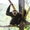 "Sambo, the Pileated Gibbon, looks very sad indeed. As a result of his life before he was rescued, he loves the company of humans. However, since he was found to be positive for Hepatitis B, the experienced staff at the ACCB must keep their distance. Poor Sambo.<br /> <br /> All proceeds from prints go to the Angkor Centre for Conservation of Biodiversity, who rescued all of the animals featured here.<br /> <br /> <a href=""http://www.accb-cambodia.org"">http://www.accb-cambodia.org</a>"