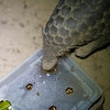 """A Sunda Pangolin enjoying a midnight snack of delicious bugs provided by the ACCB. She pokes her long and sticky tongue into the box repeatedly to fetch her food from inside.<br /> <br /> All proceeds from prints go to the Angkor Centre for Conservation of Biodiversity, who have rescued many pangolins, some of them more than once!<br /> <br /> <a href=""""http://www.accb-cambodia.org"""">http://www.accb-cambodia.org</a>"""