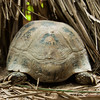 "A few species of tortoise, including this Elongated Tortoise, are looked after at the ACCB after being rescued. Not the most exciting of creatures to watch, but Endangered and equally in need of charities such as the ACCB.<br /> <br /> All proceeds from prints go to the Angkor Centre for Conservation of Biodiversity, who rescued all of the animals featured here.<br /> <br /> <a href=""http://www.accb-cambodia.org"">http://www.accb-cambodia.org</a>"