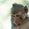 "This cheeky Macaque is party of a large group of Macaques that are cared for at the ACCB in Cambodia.<br /> <br /> All proceeds from prints go to the Angkor Centre for Conservation of Biodiversity, who rescued all of the animals featured here.<br /> <br /> <a href=""http://www.accb-cambodia.org"">http://www.accb-cambodia.org</a>"
