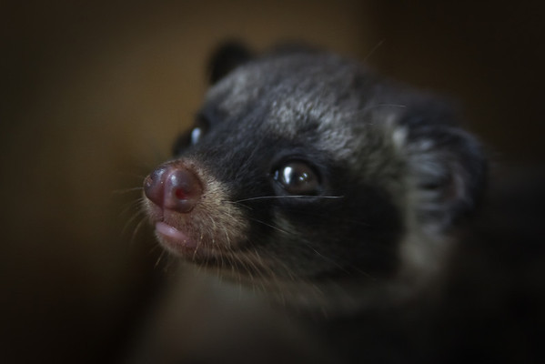 "The 3 civets were checked over and carefully nursed after their rescue to ensure they were healthy and happy.<br /> <br /> All print proceeds go to ACRES for the wildlife rescue centre and their many animal welfare campaigns.<br />  <a href=""http://www.acres.org.sg"">http://www.acres.org.sg</a>"